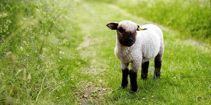 Mimpi Tentang Anak Domba, Inilah 5 Maknanya