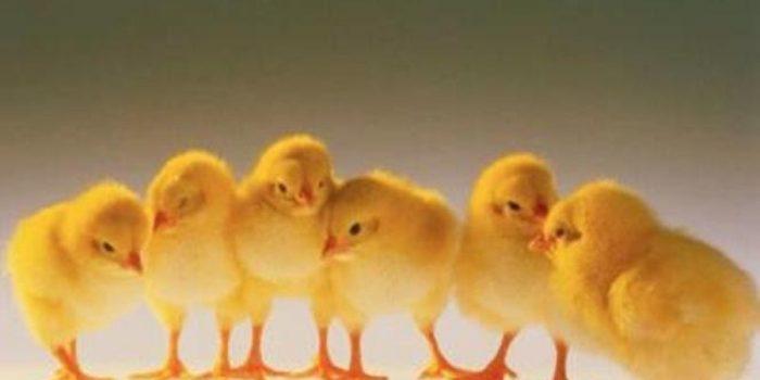 Mimpi Tentang Anak Ayam dan Anak Burung Gagak, Inilah Maknanya